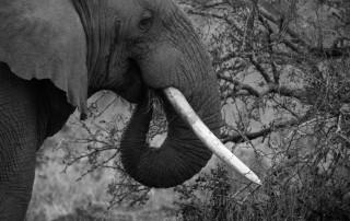 umfolozi-elephant